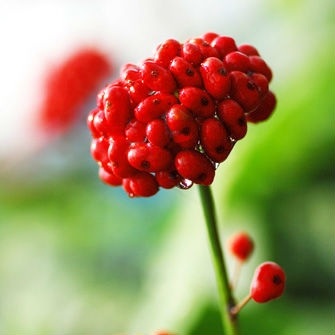 Grow your own Ginseng